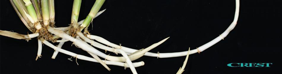 作物の地下茎による栄養繁殖化に...